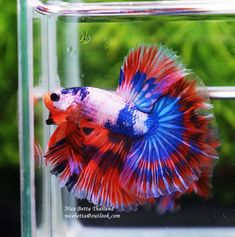 What Do Baby Bettas Eat? - Nice Betta Thailand.CO.,LTD Baby Betta Fish, Baby Fish, Breeding Betta Fish, Betta Fish Tank, Fish For Sale, Siamese Fighting Fish, Fish Farming, Types Of Food, Pet Store