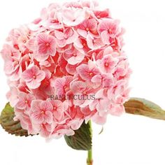 Order beautiful bulk flowers at the best prices. Our fresh Pink Tinted Hydrangeas are gorgeous! Hydrangea Flower, Hydrangeas, Ranunculus, Large Flowers, All The Colors, Wedding Flowers, Centerpieces, Bouquet, Pink