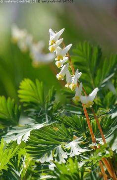 Merimiehensydän - Dicentra cucullaria keijunpikkusydän merimiehensydän valkoinen pikkuinen kukka sydän sydämenmuotoinen perenna monivuotinen kasvi kevät