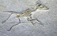 Pterodactylus micronyx from the Solnhofen Limestone. Jura Museum, Eichstatt, Germany