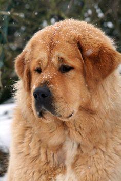 Tibetan Mastiff - Lhamo