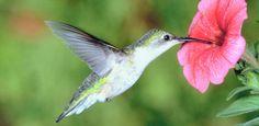 Hummingbirds in the Garden | Today's Homeowner