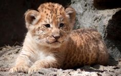 The liger cubs have their own distinct personalities.