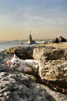 Istanbul Take care of your loneliness, claim it. He knows how many people have labor . I Love Cats, Crazy Cats, Cute Cats, Beautiful Cats, Animals Beautiful, Cute Animals, Kittens Cutest, Cats And Kittens, Turkey Art