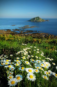 daisies by the sea, Devon, England | Gary King