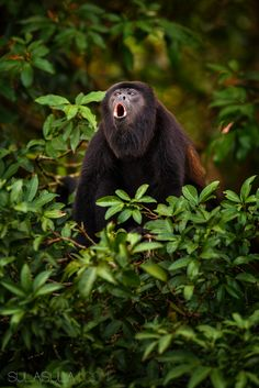 Howler Monkey | Costa Rica by Petr Bambousek