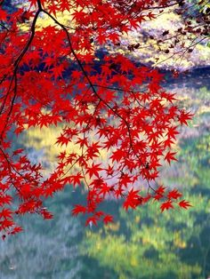 """Autumn leaf color in Japan called 紅葉(KÔYÔ, MOMIJI) """"red leaves"""". Japanese Garden Design, Japanese Landscape, Japanese Gardens, Photo Backgrounds, Background Images, Autum Leaves, Red Leaves, Maple Leaves, Mont Fuji"""