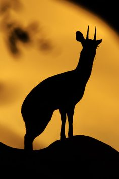 Klipspringer silhouette taken at Sunset in Boulders Bush Lodge Africa Silhouette, Eagle Silhouette, Kruger National Park, National Parks, African Tree, Silhouette Pictures, African Sunset, Silhouette Photography