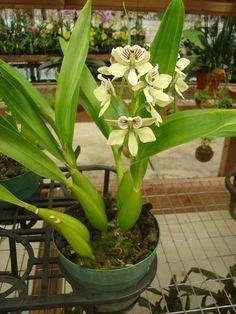 Orchids - Anacheilium (Encyclia) Radiatum, very fragrant.