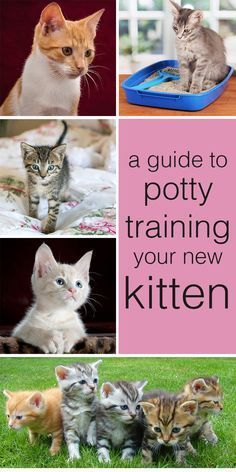 , Cat Toilet Training: How To Potty Train A Kitten - The Happy Cat Site , A complete guide to how to potty train a kitten. Giving you all the information you need to succeed at cat toilet training. Training A Kitten, Cat Toilet Training, Training Your Puppy, Training Tips, Potty Training, Litter Box Training Kittens, Leash Training, Training Classes, Cat Site