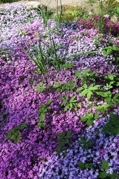 best ground cover flowers plants