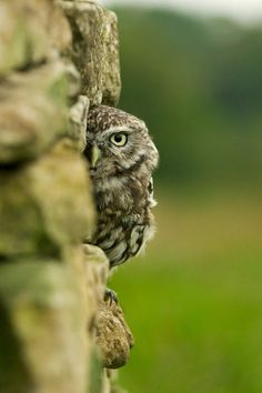 Harry Worth Owl - Little Owl peeking from a stone wall. Scrappy at the British Wildlife Centre. Nature Animals, Animals And Pets, Baby Animals, Cute Animals, Beautiful Owl, Animals Beautiful, Owl Bird, Pet Birds, Birds 2
