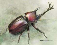 libutron: Japanese Rhinoceros Beetle - Allomyrina dichtoma| ©fishead2000 Watercolor and Color pencil. Here is a picture of an alive specimen of Allomyrina dichotoma (Coleoptera - Scarabaeidae) posted a few weeks ago.