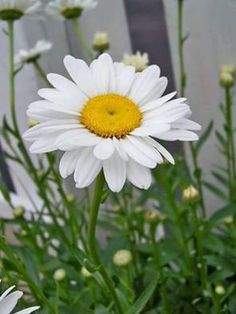Sunflowers And Daisies, My Flower, White Flowers, Flower Power, Beautiful Flowers, Shasta Daisies, Daisy Love, Flower Pictures, Mother Nature