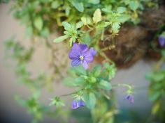 A happy little plant in a hanging basket. Just a few purple flowers on a lazy chain of leaves reaching for the sun. Little Plants, My Secret Garden, Hanging Baskets, Purple Flowers, Lazy, Leaves, Sun, Chain, Fall Hanging Baskets