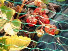 Täysin arkista: Mansikoita ja kameratakkuilua. My strawberries this year.
