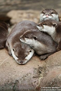 ~ Short-clawed Otters ~ lovable ~