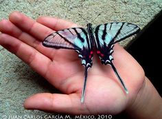 This gorgeous Mexican Kite-Swallowtail (Eurytides epidaus) is found in Mexico and Central America.