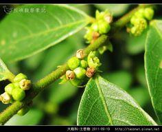 大戟科-土密樹_05.jpg