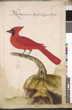 America's First Pictures:  Detail from Hariot's Briefe and True Account of the New Found Land of Virginia, 1590, showing Roanoke island, the colony and settlement of the local area.  This is a picture of a Northern Cardinal, complete with it's local name.
