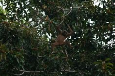 My best picture so far of a Lar Gibbon in the wild, taken in Khao Sok National Park, Thailand.