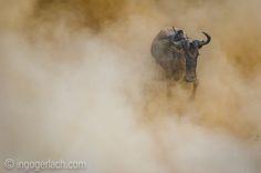 The ghost.   Masai Mara.   Kenya.    www.ingogerlach.com www.shop.ingogerlach.de