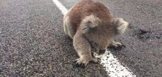 Travelers prod pavement-licking koala out of Australian road