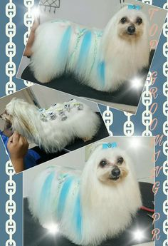Maltese with blue highlights