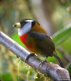 Toucan Barbet - the best color combinations are found in nature