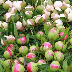 Peony Buds at the Perfect Stage to Cut
