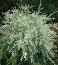 Tri Colored Willow Hedge shrub
