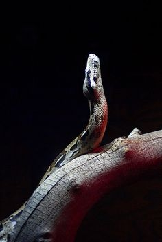 Colombian Red-Tailed Boa (Copyright April Baca) Red Tail Boa, Colorful Snakes, Boa Constrictor, Salamanders, Beautiful Snakes, Perspective Photography, Animal Books, Reptiles And Amphibians, Animals Images