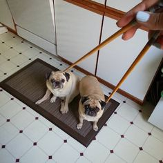 Picking up 2 pug dumplings at once. Chopsticks skill level: Asian. #ireallyamasian #andsoaremypugs #sunnyrosy