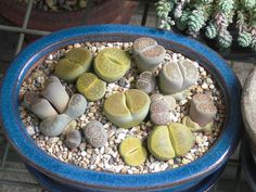 Lithops by cactiphobia, via Flickr (okay, so they are living rocks, but I think they are so cool!)