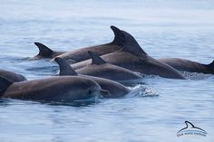 Bottlenose dolphins near Lošinj this week (photo: Blue World)