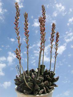Adromischus cooperi – Plover Eggs Plant - See more at: http://worldofsucculents.com/adromischus-cooperi-plover-eggs-plant