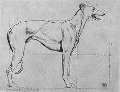 skeleton of a greyhound, greyhound anatomy
