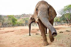 Elephant and Monkey Sanctuary, Hartbeespoort, North West, South Africa Gentle Giant, African Elephant, Vacation Ideas, North West, Elephants, South Africa, Monkey, Tourism, Wildlife