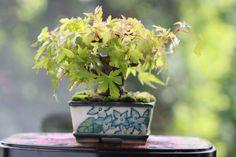 モミジのミニ盆栽 超ミニ盆栽のブログ
