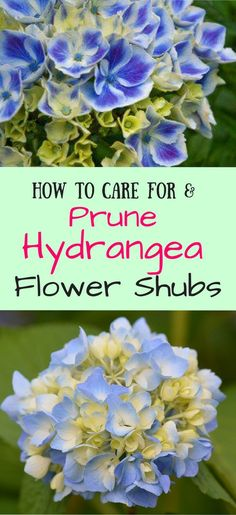 How To Care For and Prune Hydrangea Flower Shrubs.  Save pin to revisit later.