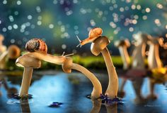 """Drama in Fairyland.  The saga continues as Vincent comes to the rescue of his son Cedric, who has got himself stranded in a pond of magic mushrooms.  This image was made almost entirely 'in camera"""" the only post processing was conversion of the RAW file and a little sharpening around the snails.   For those that are interested the """"ingredients' of this shot are as follows: Nikon D800 Nikkor 105mm 2.8 macro Iso 100, F8, 1/60 sec Tripod x2 SB 910 speed lights - One with CTO warming gel (used…"""