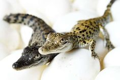 Rare leucistic crocodile 'Blondie' - Aaron Burton / Newspix/REX