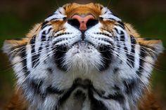 TigerbyEmmanuel Panagiotakis