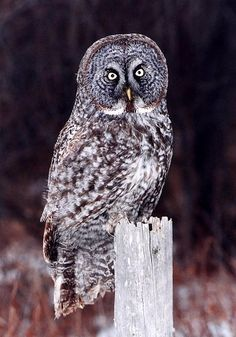 Great Grey Owl, Twilight!!! No I'm not talking about the vampires...