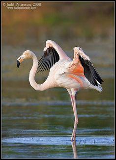 . American Flamingo