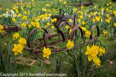 PHOTO DAFFODILS and PLOW 2503 Color  Photograph Artwork by RamblinFeverImages on Etsy