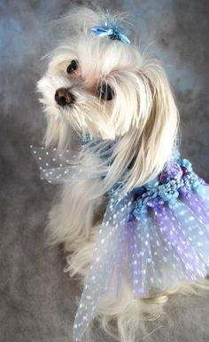 Qué vestido!! para los perritos más queridos