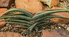 Aloe irafensis.
