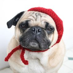 Someone get this pug a baguette and some brie, because his beret is I-can't-stand-it, fancy French cute.  Jessica Furtado of the Etsy shop All You Need Is Pug designs all sorts of hats for pugs and small/medium sized dogs and $ 1 of every purchase goes to The Pug Rescue of New England.  All hats can be made to fit your dog's size and they come in a variety of vibrant colors.