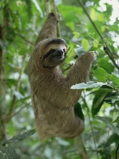 3 Toed Sloth found throughout Costa Rica and it's National Parks